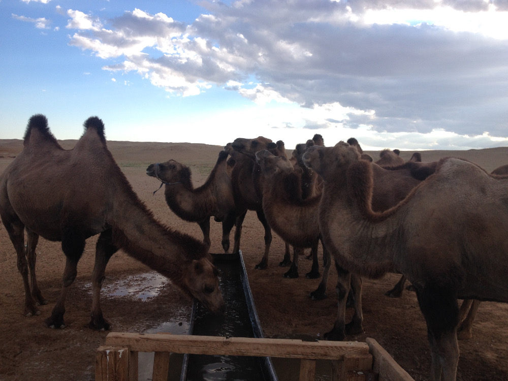 drinkingcamels