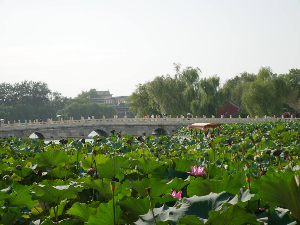 lotus-in-beihai-park